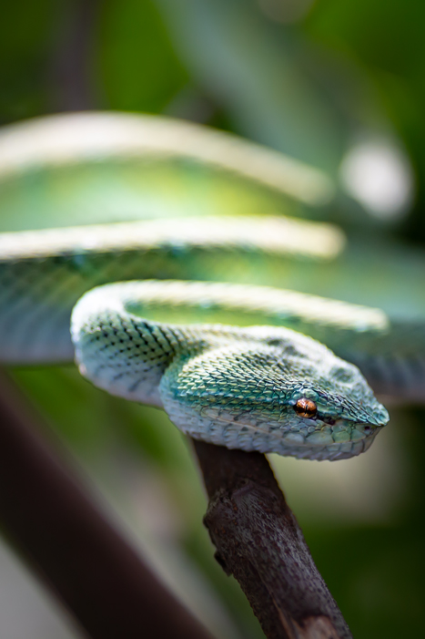 Green Borean Viper Close-up