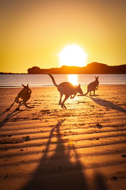 Jumping kangaroos at the beach